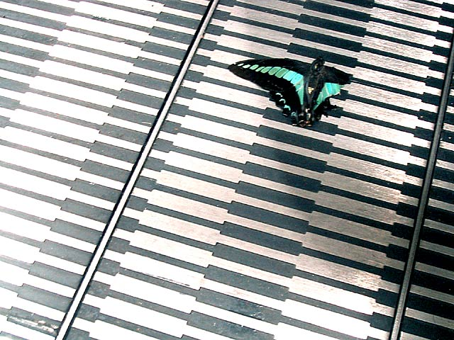 escalator swallowtail