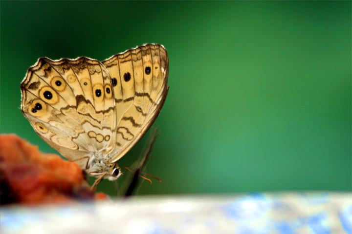 papillon de repas