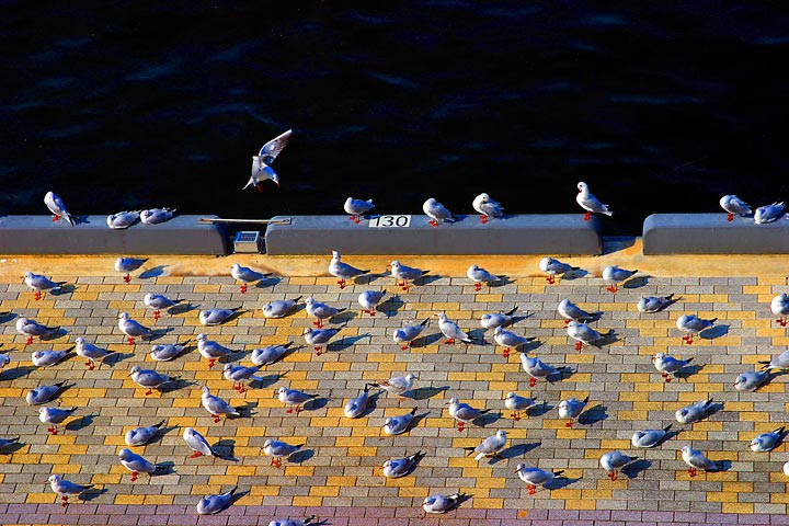 gull social characteristic law