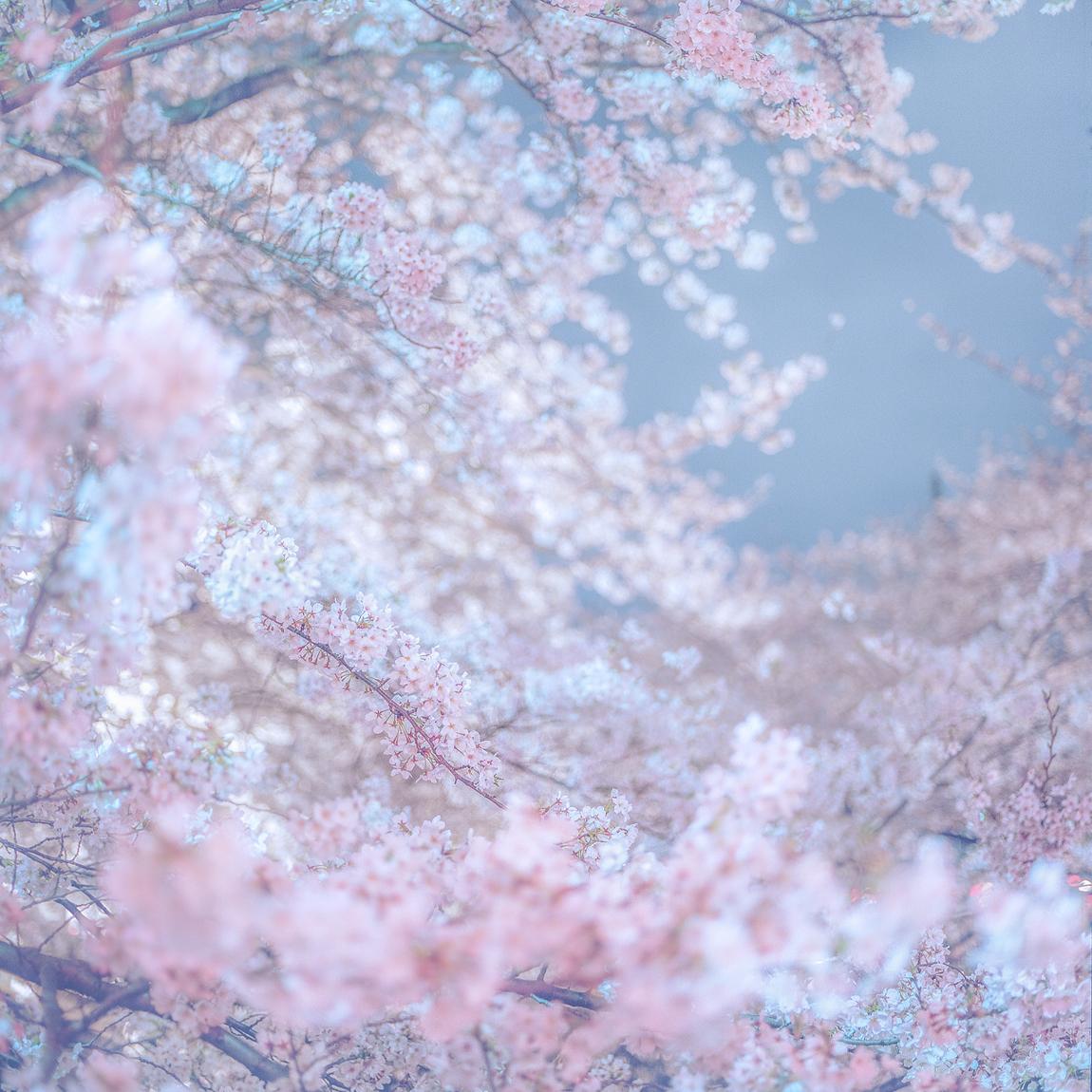suigin sakura